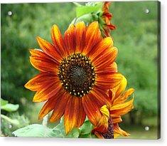 Sunflower Acrylic Print by Lisa Rose Musselwhite