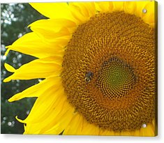 Acrylic Print featuring the photograph Sunflower by Lou Ann Bagnall