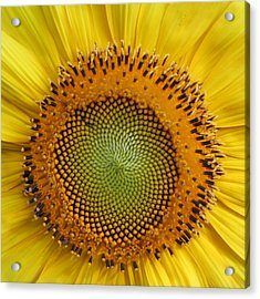 Sunflower Magic Acrylic Print by Lou Belcher