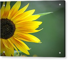 Sunflower Morning Acrylic Print by Bill Cannon