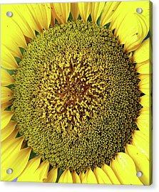 Sunflower Acrylic Print by Nenov