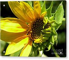 Sunflower No. 1 Acrylic Print by Christine Belt