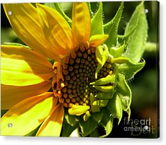 Sunflower No. 2 Acrylic Print by Christine Belt