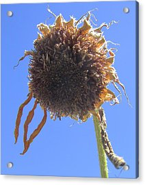 Sunflower-one Acrylic Print by Todd Sherlock