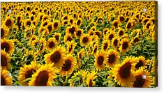 Acrylic Print featuring the photograph Sunflower Panorama by Nancy De Flon