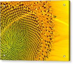Sunflower Study 1 Acrylic Print