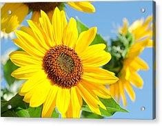 Sunflower Study IIi Acrylic Print