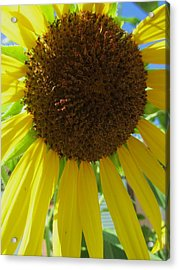 Sunflower-two Acrylic Print by Todd Sherlock