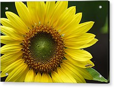 Acrylic Print featuring the photograph Sunflower With Insect by Daniel Reed