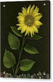 Sunflower With Rocks Acrylic Print by Deddeda