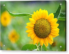 Acrylic Print featuring the photograph Sunflower by Yew Kwang