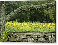 Sunflowers 1 Acrylic Print by Ron Smith