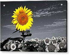 Sunflowers 1 Acrylic Print by Sumit Mehndiratta