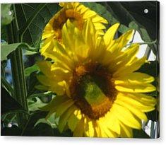 Sunflowers Acrylic Print by Amy Bradley