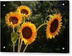Sunflowers Acrylic Print by Boyd Alexander