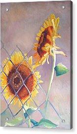 Sunflowers Fenced Acrylic Print