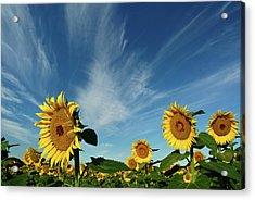 Sunflowers Acrylic Print by Robin Wilson Photography