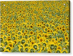 Sunflowers Acrylic Print by Ron Smith