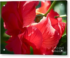 Sunlight On Red Hibiscus Acrylic Print by Carol Groenen