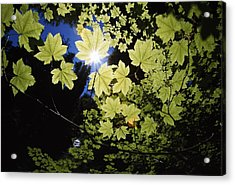 Sunlight Through Maple Leaves Acrylic Print by Natural Selection Craig Tuttle