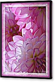 Sunlight Through Pink Dahlias Acrylic Print by Carol Groenen