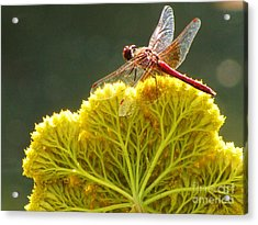 Acrylic Print featuring the photograph Sunlit Dragonfly On Yellow Yarrow by Michele Penner