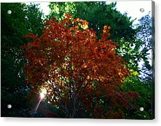 Sunlit Maple Acrylic Print by Jerry Cahill