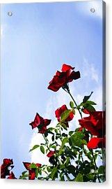 Sunlit Roses Acrylic Print by Alan Hausenflock
