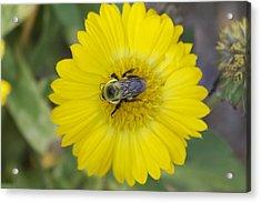 Sunny Bumblebee Acrylic Print