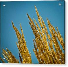 Sunny Golden Grass Acrylic Print