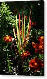 Sunny Grasses Acrylic Print by Margaret Buchanan