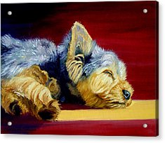 Sunny Patch Yorkshire Terrier Acrylic Print by Lyn Cook