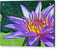 Sunny Purple Waterlily Acrylic Print by Becky Lodes