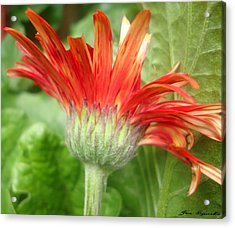 Sunset Petals Acrylic Print