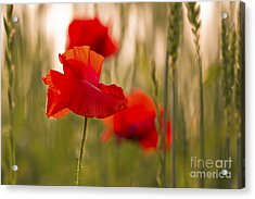Acrylic Print featuring the photograph Sunset Poppies. by Clare Bambers