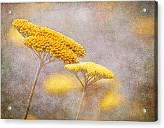 Sunshine Achillea Acrylic Print