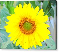 Sunshine Flower Acrylic Print by Amy Bradley
