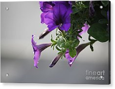 Sunshine Petunias Acrylic Print