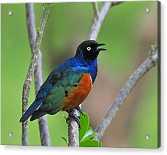 Superb Starling Acrylic Print by Tony Beck
