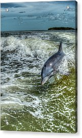 Surfing Dolphin Acrylic Print by Nick  Shirghio