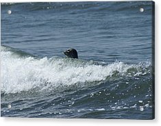 Surfing Seal Acrylic Print by Jerry Cahill