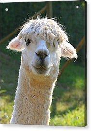 Acrylic Print featuring the photograph Suri Alpaca Number 4 by Paula Tohline Calhoun