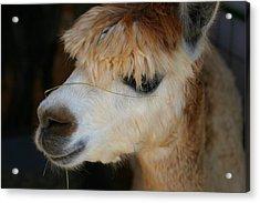 Suri Alpaca Number 5 Acrylic Print