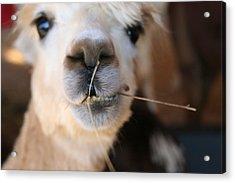 Acrylic Print featuring the photograph Suri Alpaca Number 6 by Paula Tohline Calhoun