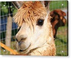 Suri Alpaca Number 8 Acrylic Print