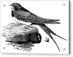 Swallow, C1800 Acrylic Print by Granger