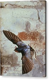 Swallow In Flight Acrylic Print by Andy Harmer