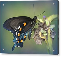 Acrylic Print featuring the photograph Swallowtail 1 by Judy Hall-Folde