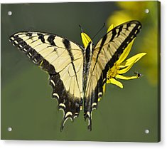 Swallowtail And Friend Acrylic Print