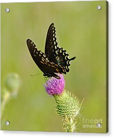 Swallowtail At Work Acrylic Print by Ginger Harris